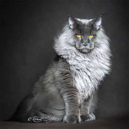 12 portraits majestueux d 39 un chat mythique et rare le maine coon. Black Bedroom Furniture Sets. Home Design Ideas