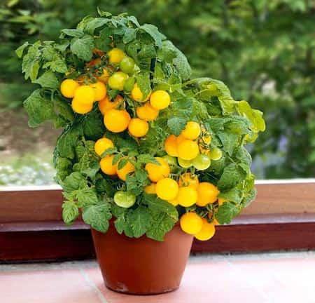 Les 20 l gumes les plus faciles faire pousser en pot - Faire pousser des tomates ...