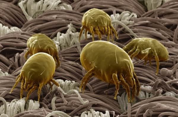 ces bestioles vivent dans votre lit et attaquent vos poumons voici la m thode facile rapide. Black Bedroom Furniture Sets. Home Design Ideas