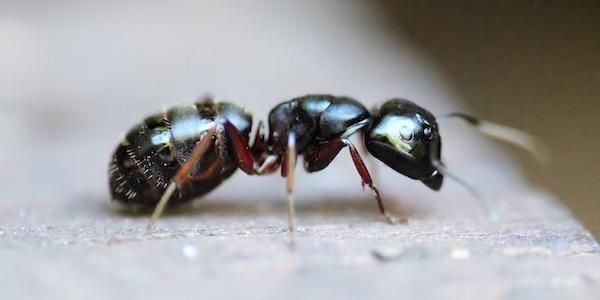 12 solutions naturelles pour vous d barrasser des fourmis. Black Bedroom Furniture Sets. Home Design Ideas