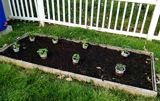 13 astuces pour faire pousser plus de tomates plus grosses et plus savoureuses - Espace entre les pieds de tomates ...