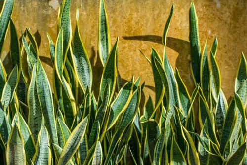 6 plantes faire pousser dans votre chambre pour am liorer votre sant - Plante langue de belle mere ...