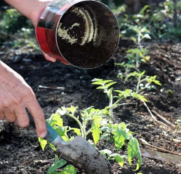 Mettez ces 8 ingr dients dans la terre pour faire pousser de superbes tomates - Comment faire bruler du marc de cafe ...