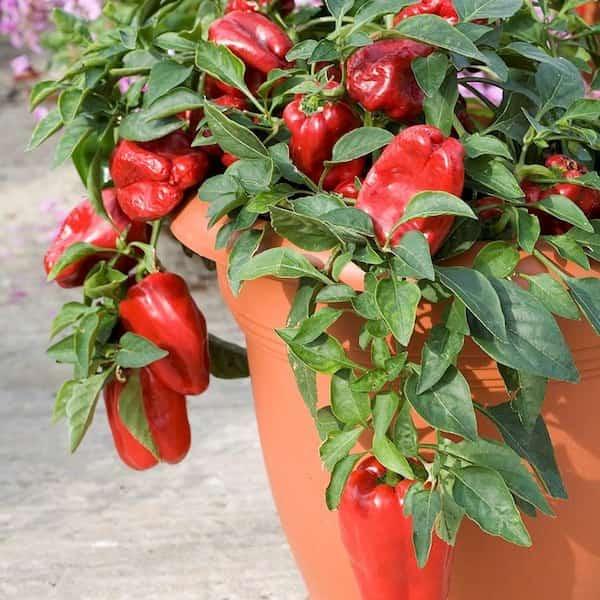 Les 20 l gumes les plus faciles faire pousser en pot - Comment planter des poivrons ...