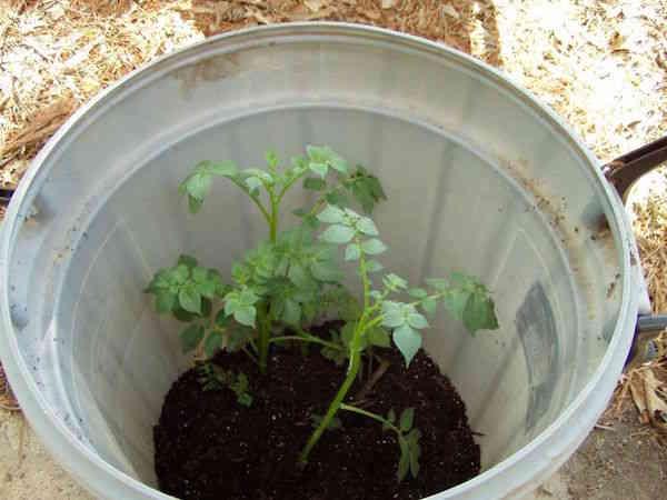 4 tapes simples pour faire pousser 45 kg de pommes de terre dans un tonneau - Quand ramasser les pommes de terre ...