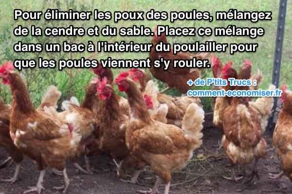 Comment eliminer les poux des poules courroie de transport for Les maladies des poules