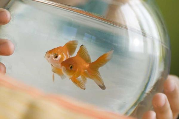 Comment r utiliser l 39 eau des poissons rouges d couvrez l for Aquarium poisson rouge changer l eau