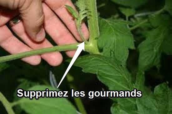 13 astuces pour faire pousser plus de tomates plus - Comment faire grossir les tomates ...