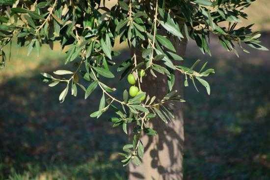La feuille d olivier l 39 antibiotique miracle que personne for Amaryllis ne fait que des feuilles