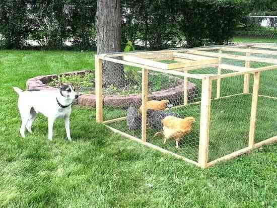 6 astuces simples pour nourrir ses poules sans se ruiner. Black Bedroom Furniture Sets. Home Design Ideas