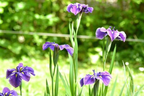 Chaque fleur a une signification voici le guide du langage des fleurs - Langage des fleurs iris ...